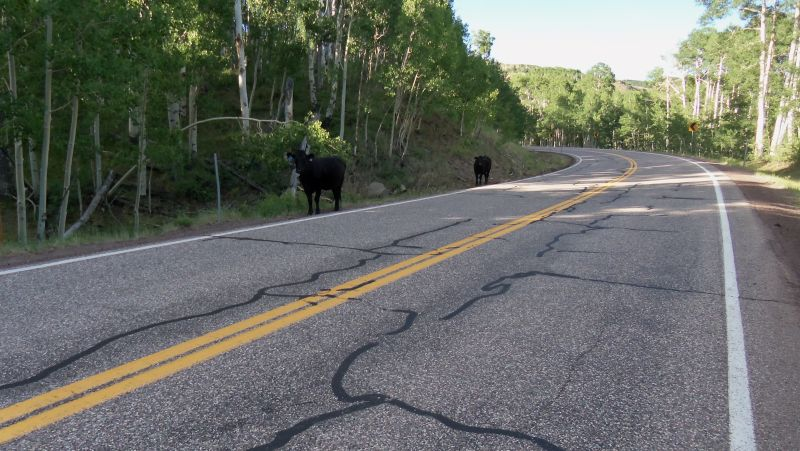 Bovine along the road.